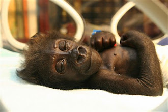 """Photo: A picture released by Allwetterzoo in Muenster on Monday, July 2, 2007 shows six-week old gorilla baby """"Mary Zwo"""", l in Muenster, western Germany. The young ape was abandoned by his mother and suffered hypothermia. The zoo said that newborns of apes are biological similar to newborn humans, so that it was no problem for the hospital to take care for """"Mary Zwo"""".  (AP Photo/Allwetterzoo)"""