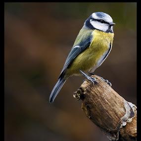 The Visiter by CLINT HUDSON - Animals Birds ( bird, blue tit )