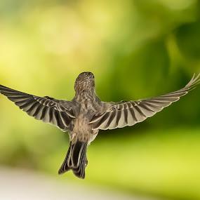 A Female Finch in flight by Ed Stines - Animals Birds ( bird, wild bird, nature, backyard bird, backyard birding, house finch, finch, garden bird, in flight, birding,  )