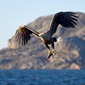 Havørn (Haliaeetus albicilla) by Kristin Smestad - Animals Birds ( havørn, albicilla, eagle, sea, haliaeetus,  )