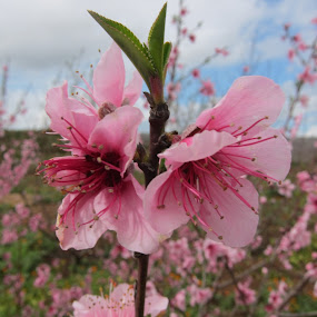 Plum flower by Morad Taame - Nature Up Close Flowers - 2011-2013 ( photographer, taking photos, pwc75 )