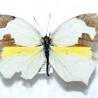 Mariposa amarilla mexicana