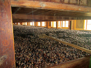 Photo: Nutmeg drying at the processing plant