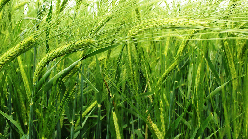 green wheat di There-Is-A-Place