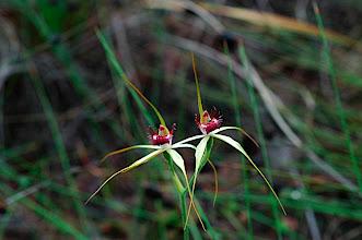 Photo: Possibly a hybrid Caladenia arenicola x Caladenia longicauda