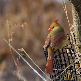 Female Northern Cardinal by Satyam Muench - Animals Birds ( cardinal, birds of chicago, female cardinal, female northern cardinal, birds of north america, birds of northern illinois,  )