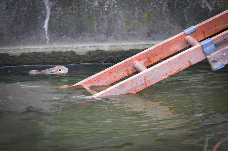 Photo: PIC SUPPLIED BY GEOFF ROBINSON PHOTOGRAPHY 07976 880732.PIC SHOWS THE   SQUIRREL IN WATFORD,HERTS,ON JAN 6TH,MAKING A BREAK FOR FREEDOM UP THE FIRE LADDER. An incredible THREE fire engines were called to rescue a tiny grey squirrel after it became stranded on reeds in the middle of a town pond.At least SEVEN firefighters with TWO ladders helped to rescue the rodent from the pond, after a local resident called to say it had fallen in.The squirrel could not climb back up the steep concrete walls and had taken refuge on a small island of rocks in the high street pond in Watford, Herts yesterday (Sun) at around 12.15pm. SEE COPY CATCHLINE  THREE fire engines rescue SQUIRREL