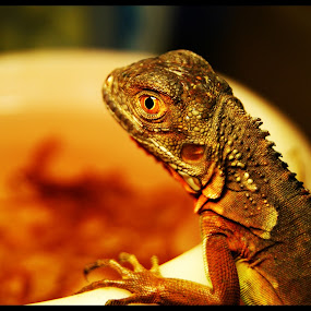 Red Iguana by Andrey Xazovky - Animals Reptiles