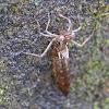Dragonfly Nymph Exuvia