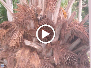 Video: Baby coatis in a tree at the Westin Playa Conchal