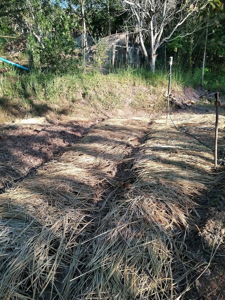 藁を敷いた畑