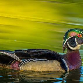 Wood Duck close-up by Tomas Rupp - Animals Birds ( bird, nature, wood duck, duck, wildlife )