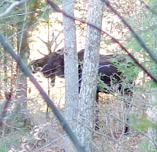 Photo: Spurned moose seeks solace in ravine next to our road in late fall