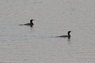 Photo: Cormorants