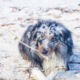 Mine by Meaghan Browning - Animals - Dogs Portraits ( sand, stick, beach, australian shepherd, aussie )