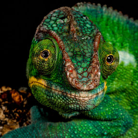 Chameleon by Garry Chisholm - Animals Reptiles ( garry chisholm, lizard, nature, wildlife, reptile, chameleon )
