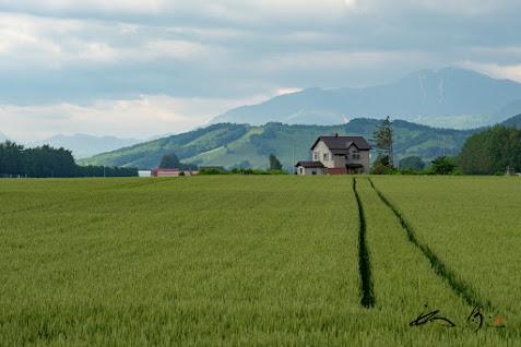 麦畑に出没した2本の細道
