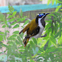 Blue- faced honeyeater