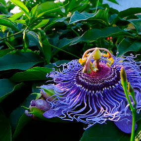 Good Morning by Ashley Humphrey - Nature Up Close Flowers - 2011-2013 ( plant, purple, nature, beautiful, shrub, plants, flower )