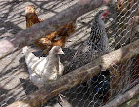Photo: They do have a proper chicken shed