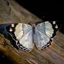 Purplewing Butterfly