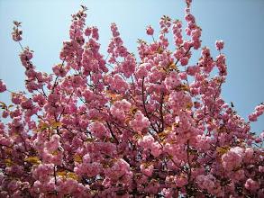 Photo: 国上寺。そういえば八重桜ってあまり馴染みが無かった。こんなに見たのは初めてだ!