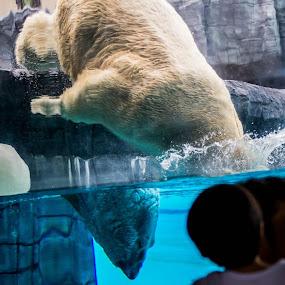 POLAR BEAR  by Simon Tong - Animals Other Mammals ( zoo, safari, cute, polar bear, swimming )