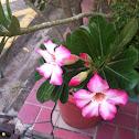 Desert rose(ชวนชม)