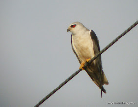 Photo: Black-shouldered Kite, hypoleucos subspecies; Kota Belud wetlands