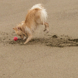 Taz by Mike Lee - Animals - Dogs Playing ( play, ball, man's best friend, beach, dog, pet,  )