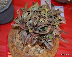 Photo: Euphorbia francoisii 2nd place