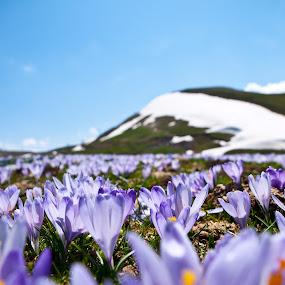 Safran field by Paschalis Angelopoulos - Nature Up Close Gardens & Produce ( mountain, purple, snow, flowers, safran, color, colors, landscape, portrait, object, filter forge )