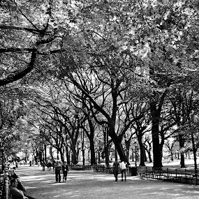 Treegonometry by Dan Allard - Landscapes Forests ( park, black and white, pwcbenches, trees, pwcbwlandscapes, nyc, central park, Urban, City, Lifestyle,  )