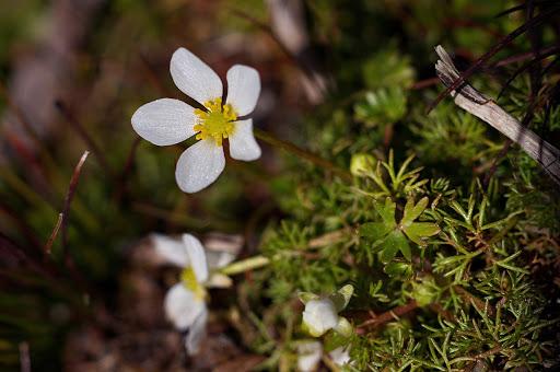 Ranunculus ololeucos