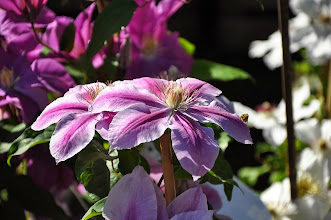 Photo: Clematis 'Bees Jubilee'