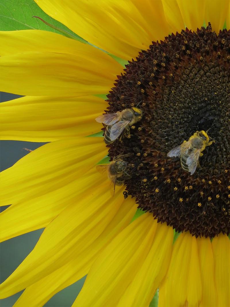 Bees di EmmaPhotos