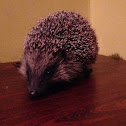 Euopean Hedgehog