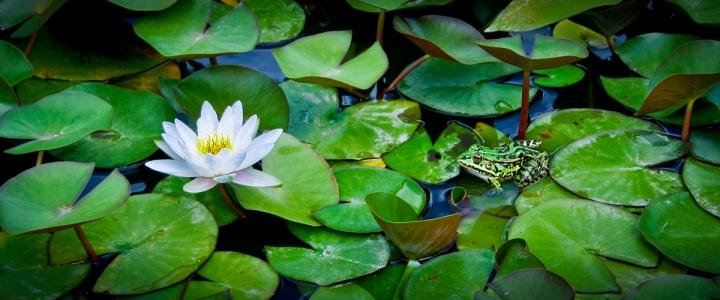 La rana e il fiore di Gillio