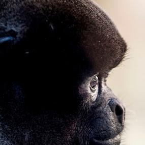 Macaco by Felipe Mairowski - Animals Other Mammals ( zoológico, zoo, ape, macaco, são paulo, monkey )