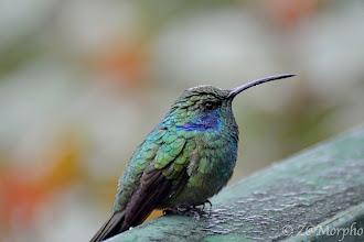 Photo: Green Violet-ear Hummingbird @ Paraíso Quetzal Lodge, Cerro de la Muerte