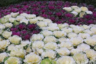 Photo: 拍攝地點: 梅峰-溫帶花卉區 拍攝植物: 葉牡丹 拍攝日期: 2015_02_09_FY