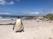 A full-frontal view of the king penguin at Buffels Bay, near Cape Point, on Wednesday.