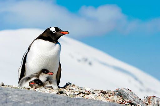 Lindblad-Expeditions-Antarctica-gentoo-penguins-chicks-parent.jpg -  A gentoo penguin parent with two chicks on Pleneau Island near the Antarctic Peninsula during a Lindblad Expeditions tour.