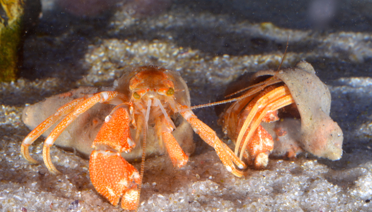 Close-up of the green-eyed hermit crab, a news species discovered in a tiny area off the South African West Coast.