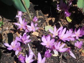 Photo: a prettylavendercolored ground cover flower.