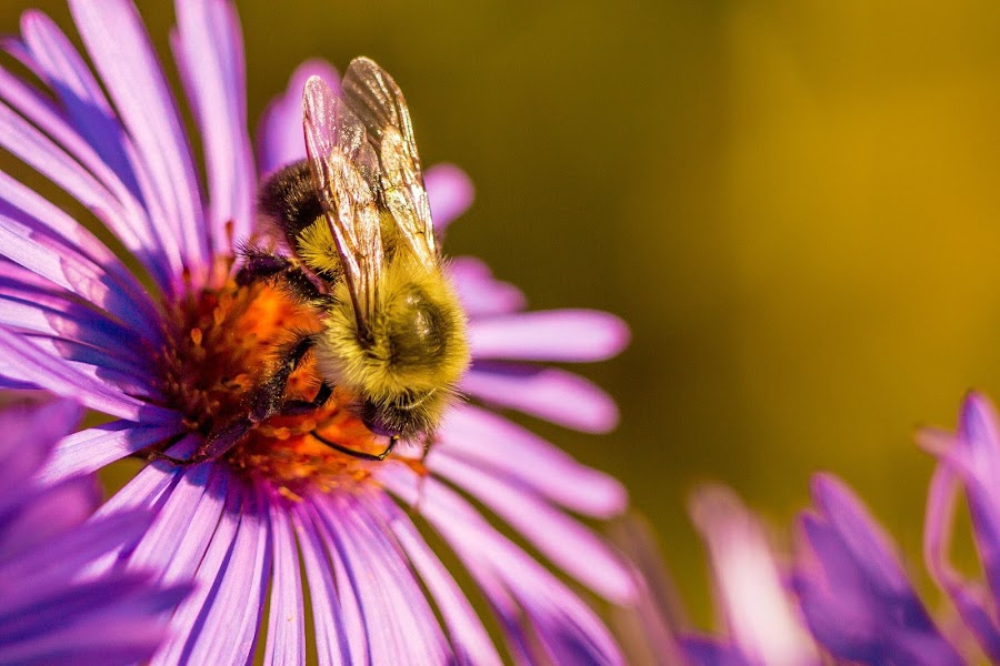 Divine Duty by Danijel Gruba - Nature Up Close Flowers - 2011-2013 ( macro, bumble bee, nature, insect, flower )