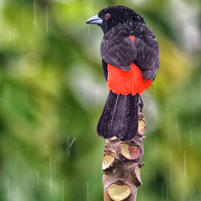 Male Passerini Tanager by Betty Arnold - Animals Birds (  )