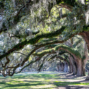 Bent Oak Branches by Bonnie Davidson - City,  Street & Park  Historic Districts ( photograph, oaks, mount pleasant, grass, moss, boone hall plantation, landscape, plantation, limbs, south carolina, repeating, fence, nature, leave, arches, trees, branches,  )