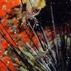 Urocaridella Sp.