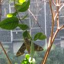 Eumorpha pandorus (Pandora Sphinx)